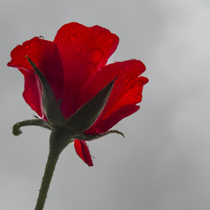 Red #flower #red